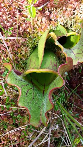 The purple pitcher plant (Sarracenia purpurea) is Wisconsin's largest and showiest carnivorous plant. Its leaves form into pitchers that have a widely winged edge and a flaring hood. The leaves can be a foot long and form a crowded cluster. The flower is large and maroon and is on a stalk that can tower to two feet tall.